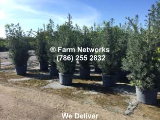 25-Gallon-Podocarpus