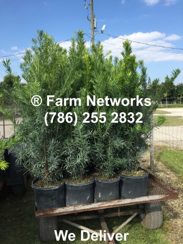 3-Gallon-Podocarpus-Miami