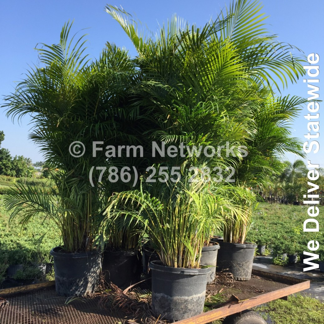 30 Gallon Areca Palm-Trees