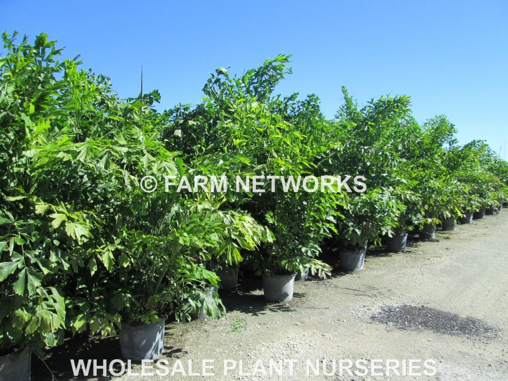 30 Gallon-Fishtail Palm Trees