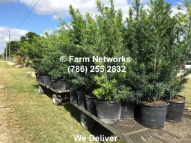 30-Gallon-Podocarpus-Broward