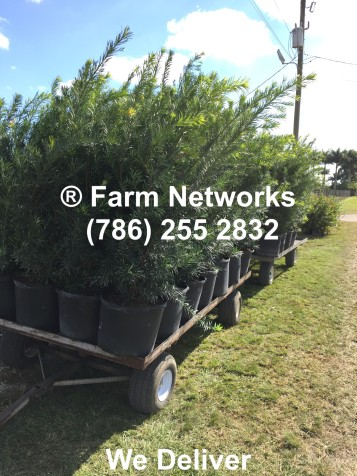 30 Gallon South Florida Podocarpus