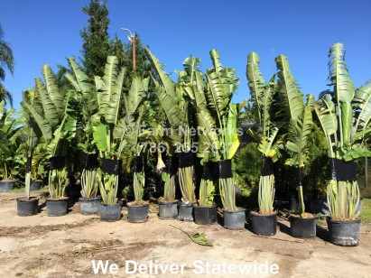 30 Gallon Traveler Palm