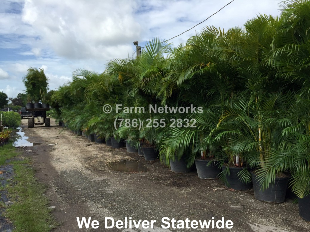 45 Gallon Areca Palm-Trees