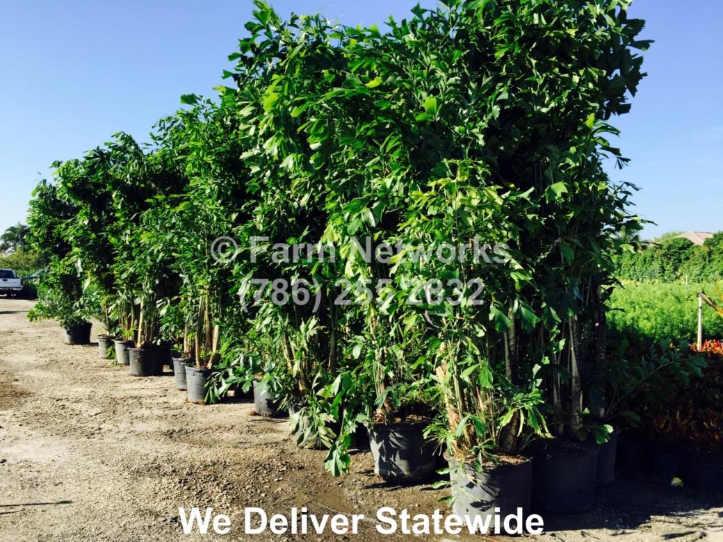 45 Gallon-Fishtail Palm Trees