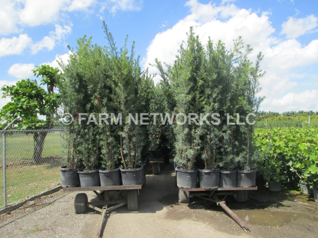 45-Gallon Podocarpus