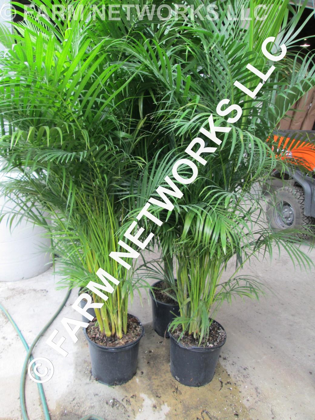 7 Gallon Areca Palm-Trees