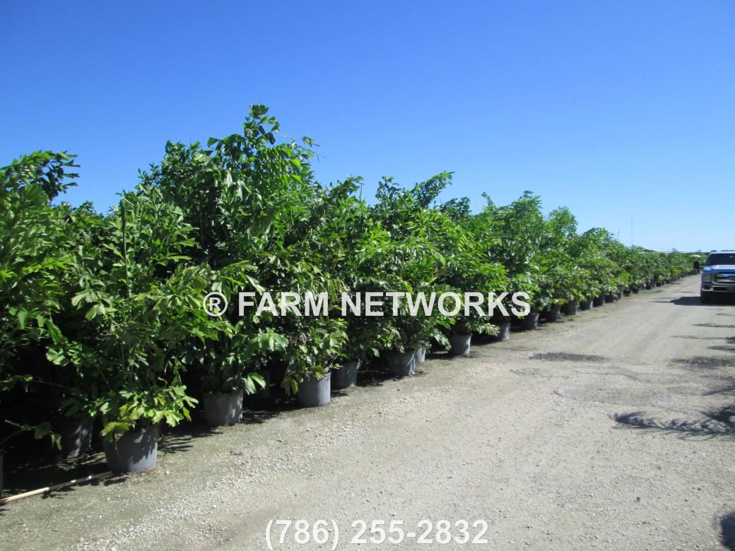 7 Gallon-Fishtail Palm Trees