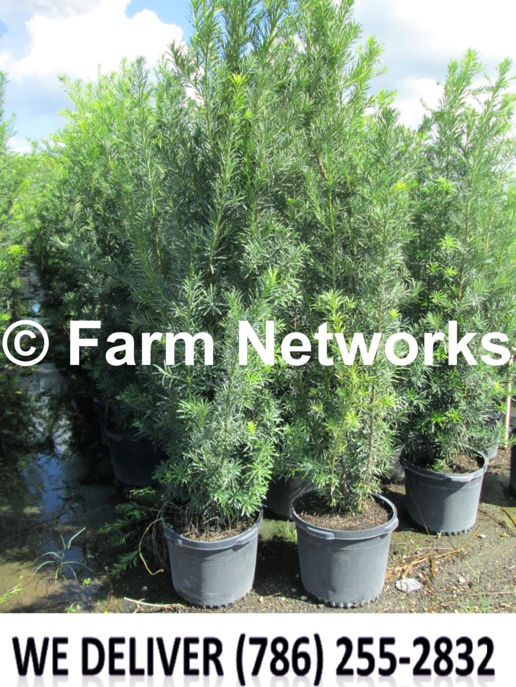 7 Gallon Podocarpus