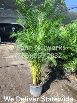 Areca Palm-Coral Springs