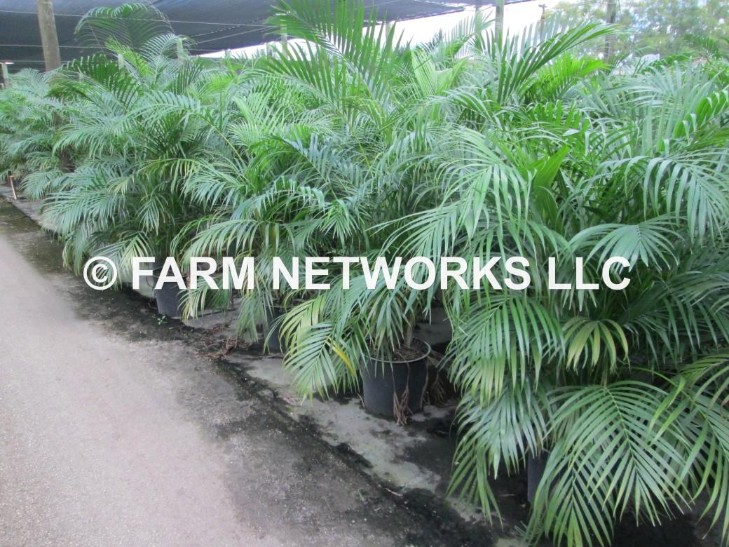Areca Palm-Trees-Boca Raton,FL