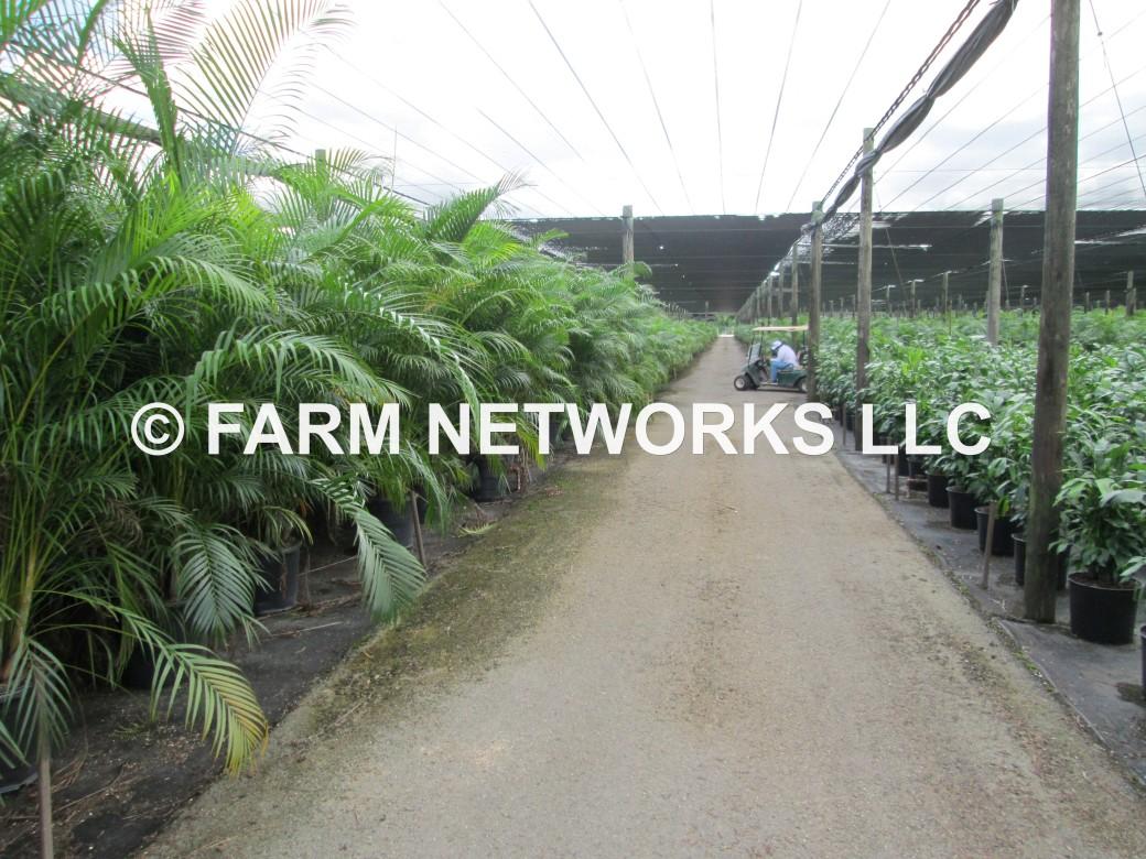 Areca Palm-Trees-Broward,FL