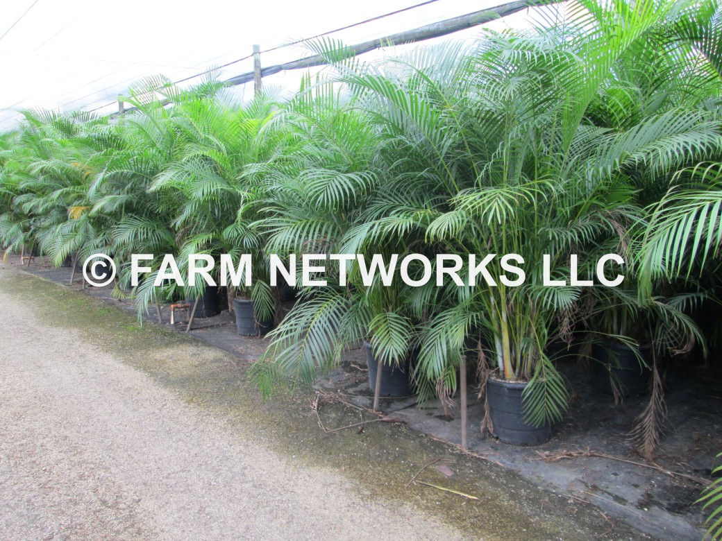 Areca Palm-Trees-Coral Spring,FL