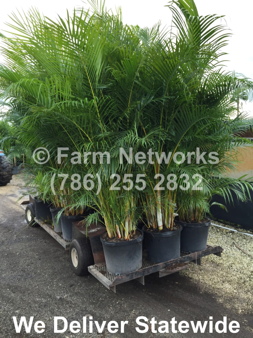 Areca Palm-Trees-Hollywood