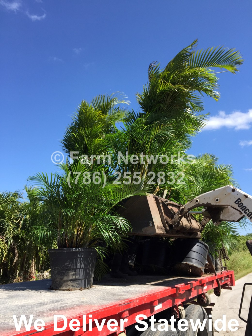 Areca Palm-Trees-Hollywood,FL