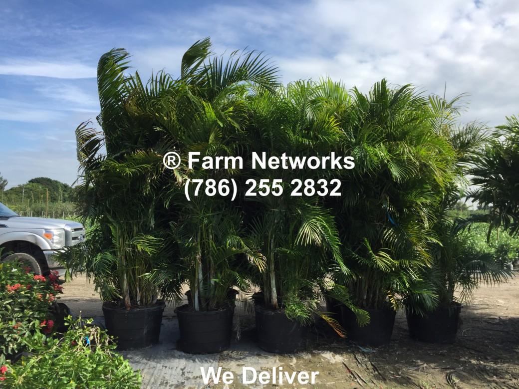 Areca Palm-Trees-Homestead