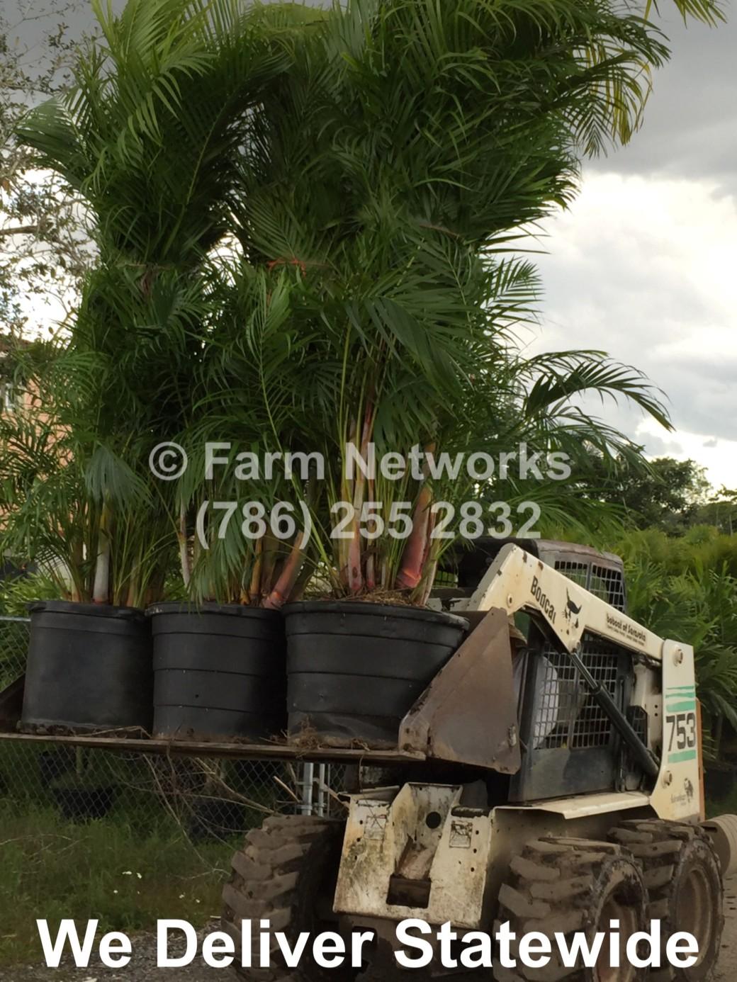 Areca Palm-Trees-Miami Beach