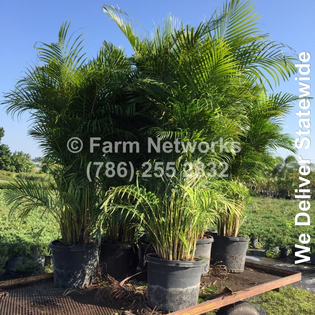 Areca Palm-Trees-Miami