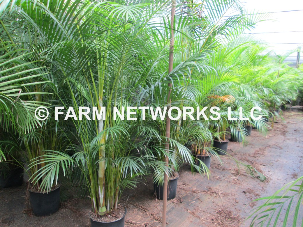 Areca Palm-Trees-Pompano,FL