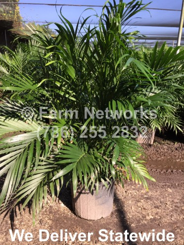 Cat-Palm-Trees-7 Gallon
