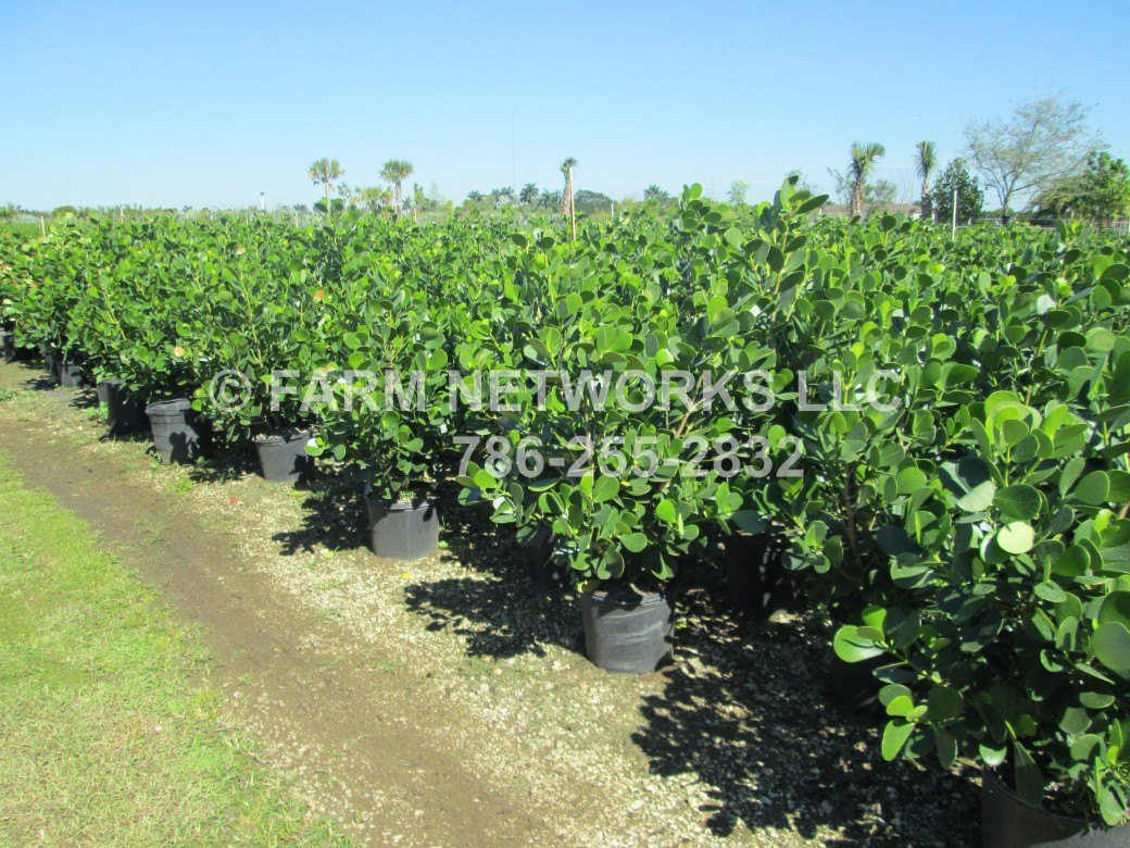 Clusia Nursery-Hedges