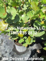 Coccoloba uvifera (Sea Grape) Bush 06