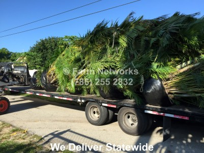 Field Grown Areca Palm-Naples, FL