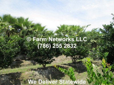 Field Grown Ligustrum 02