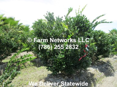 Field Grown Ligustrum 05