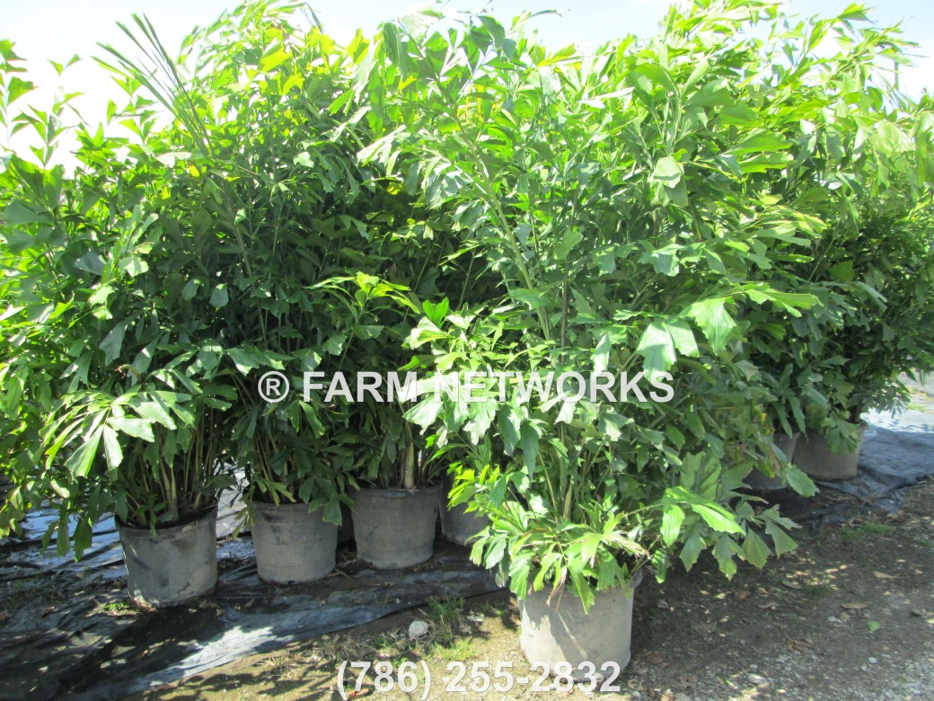 Fishtail Palm Trees-for Sale