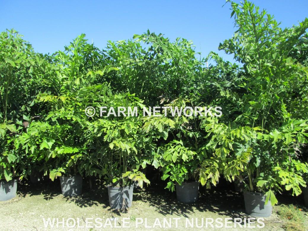 Fishtail-Palm Trees-Homestead