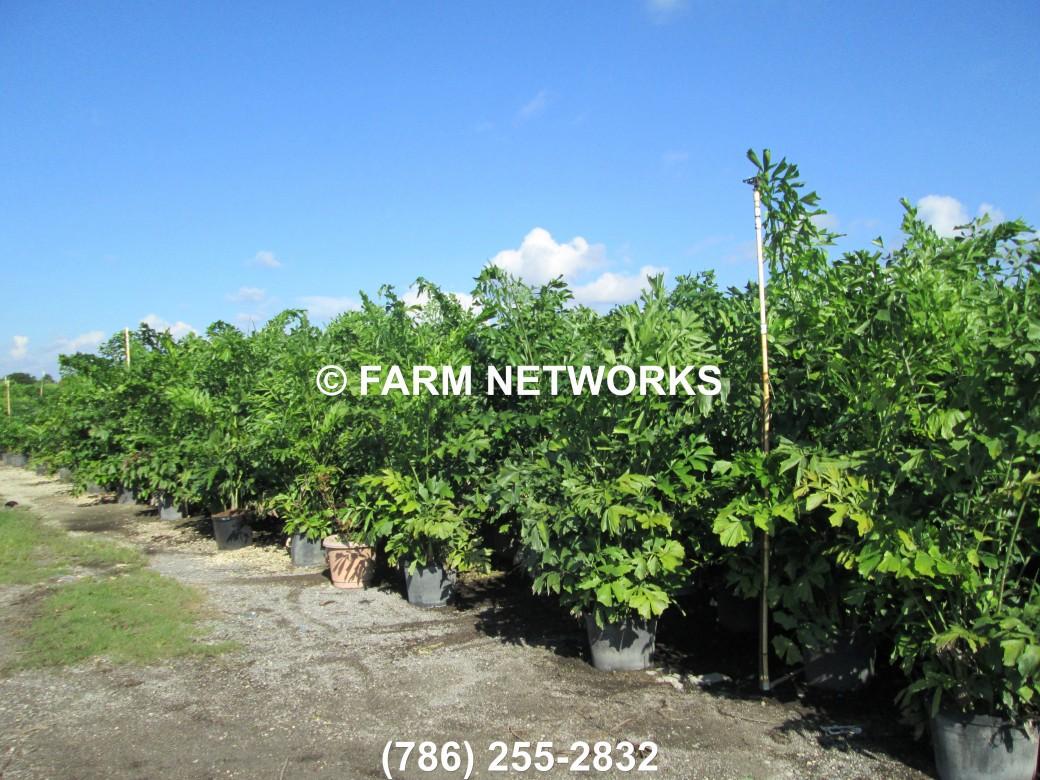 Fishtail Palm Miami