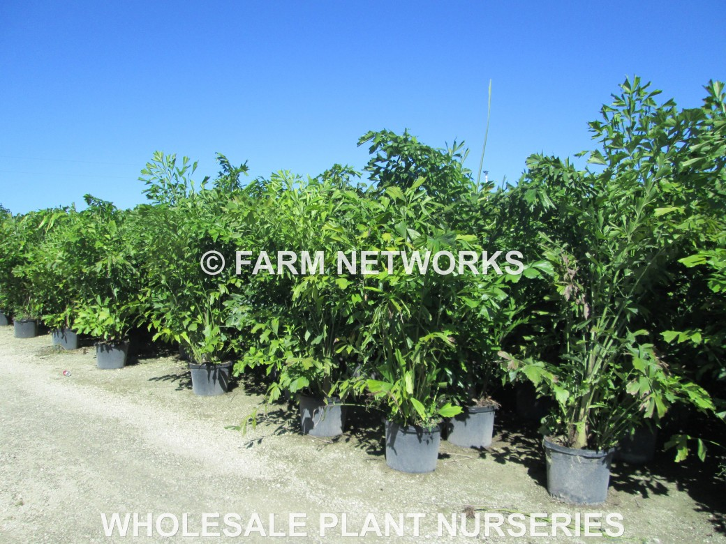 Fishtail Palm Trees-Palm Beach