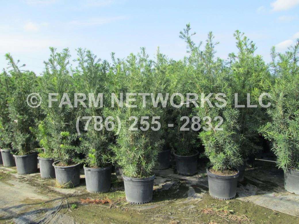 Wholesale Podocarpus