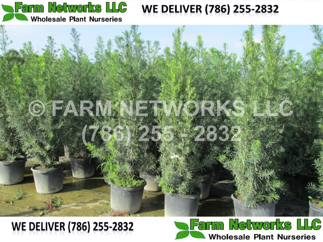 Podocarpus-Hollywood