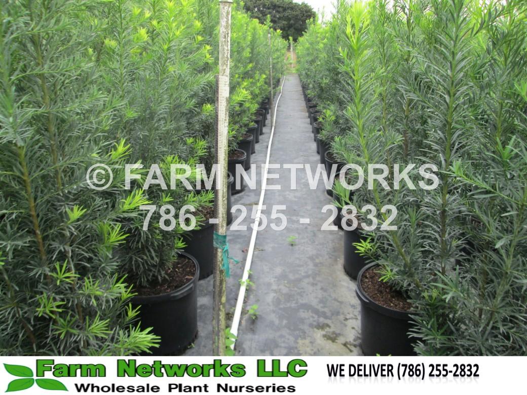 Podocarpus-Homestead