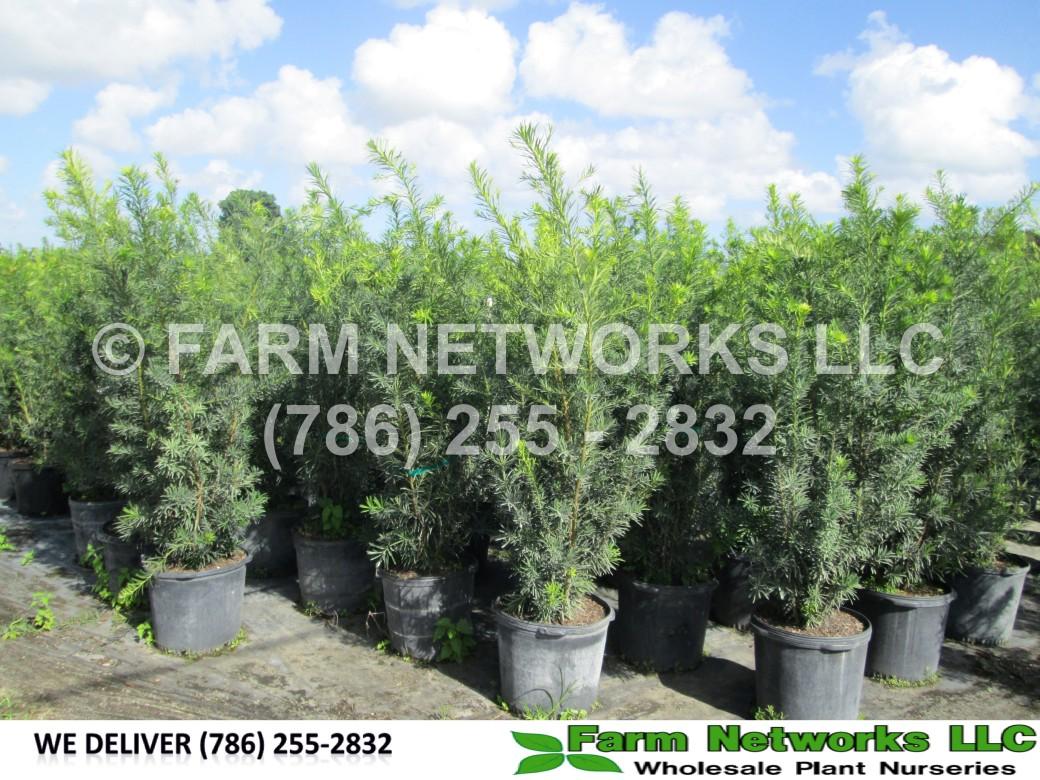 Miami Podocarpus Nursery