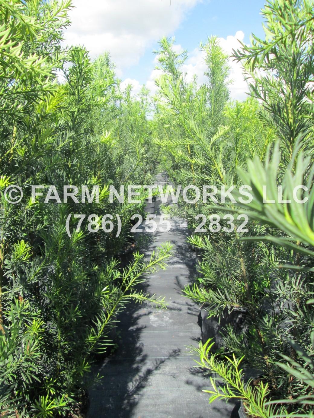 podocarpus plants