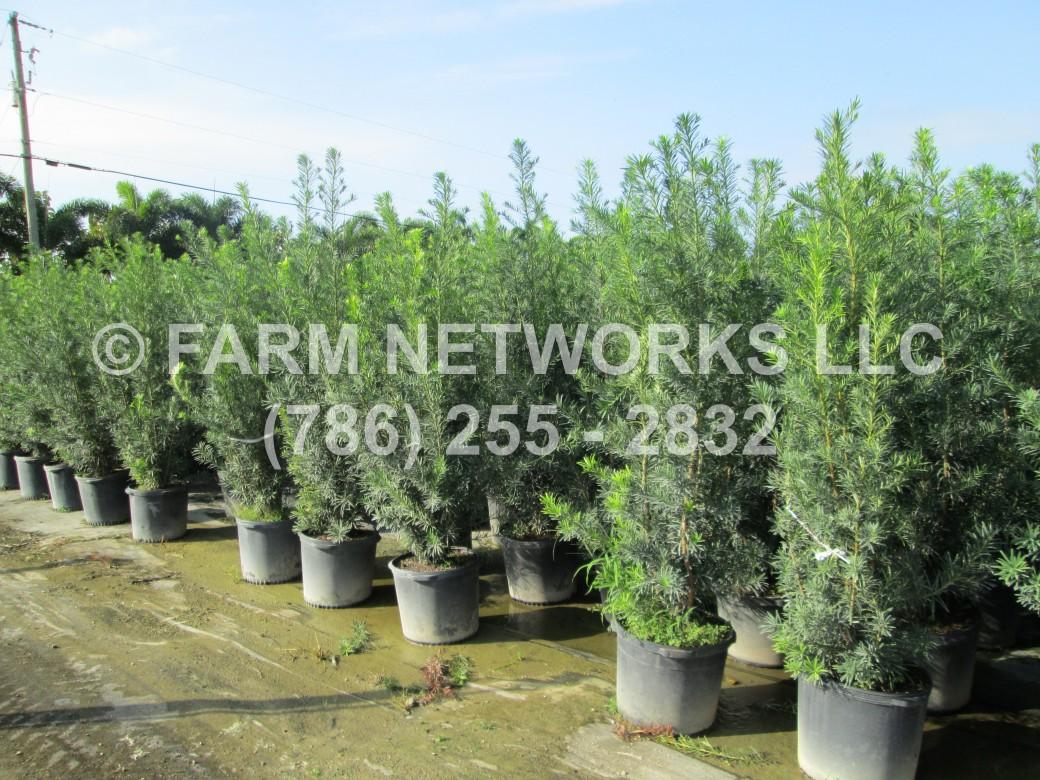 Podocarpus-Orlando, FL