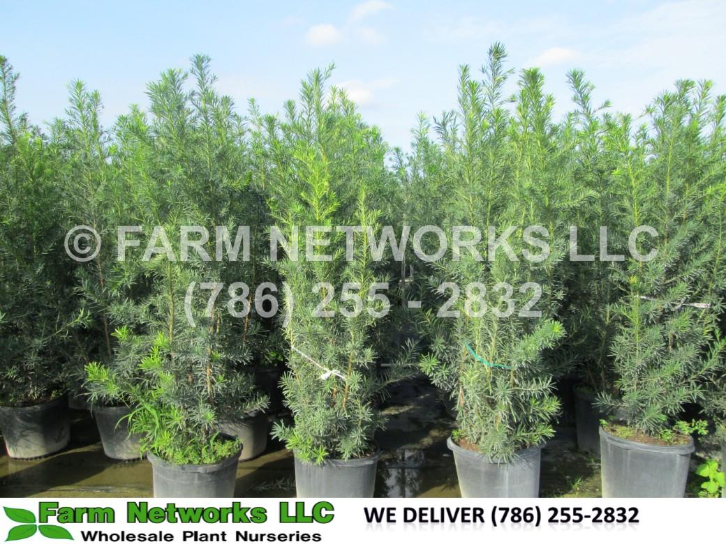 podocarpus maki