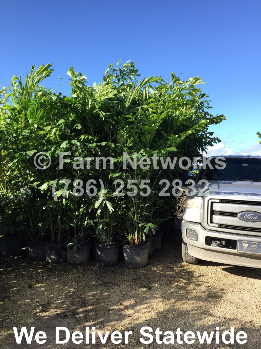 South Florida-Fishtail Palm Trees