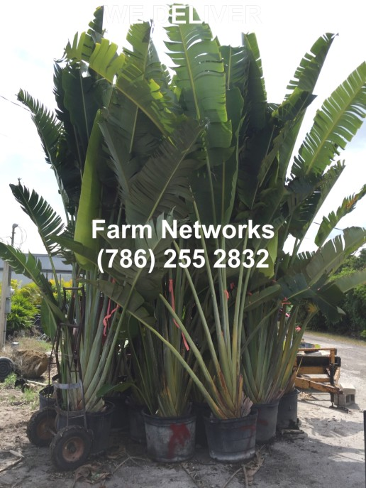 25 Gallon Traveler Palm Trees