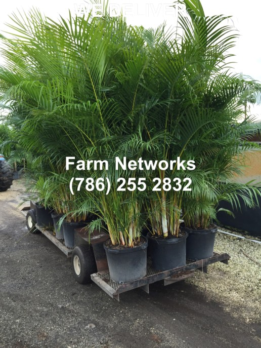 15 Gallon Areca Palm Trees